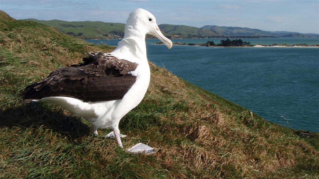 Albatross3